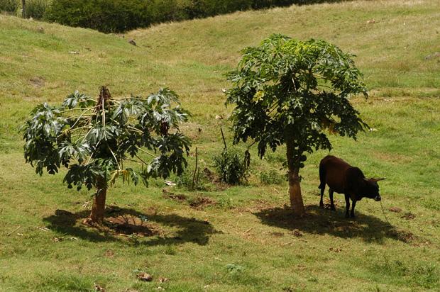 scenic-cow