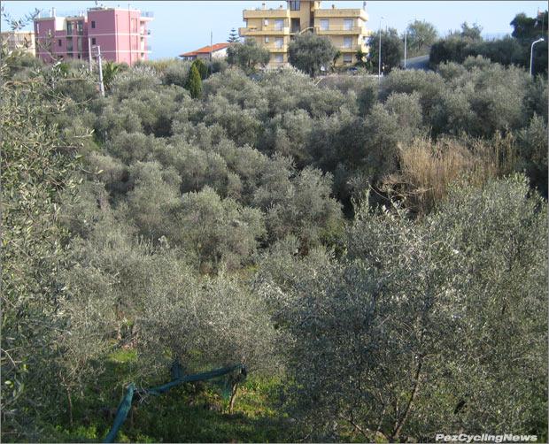 msr10rp2-olivetrees620