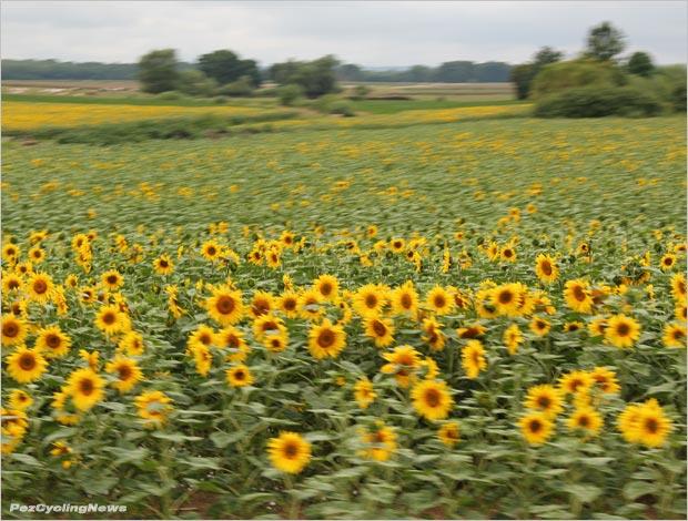 tdf14st07rp-15sunflowers