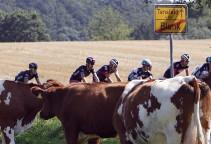 vattenfall15-cows-peloton-big