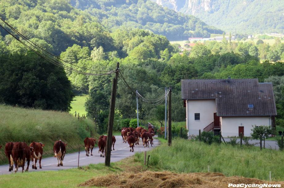 veloclassic16-croisdefer-cows