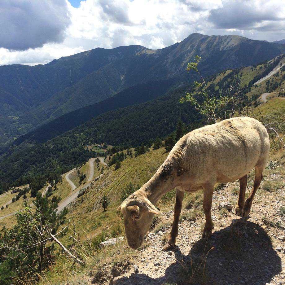 sheep-higher-calling-920